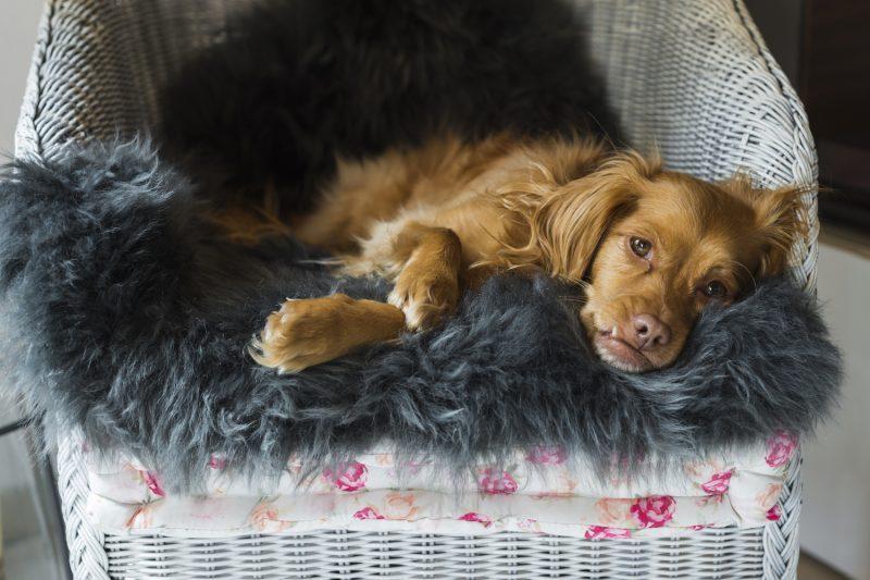 Hund auf Stuhl mit Schaffellunterlage