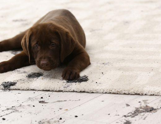 Schmutziger Teppich mit Hund